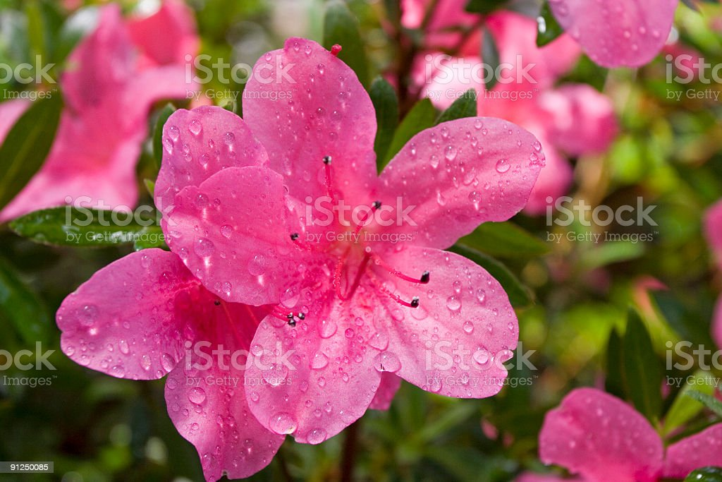 Pink flowers of an azalea after a rain royalty-free stock photo