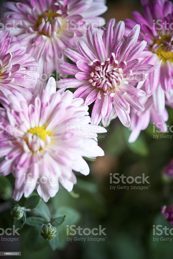pink flowers of aster royalty-free stock photo
