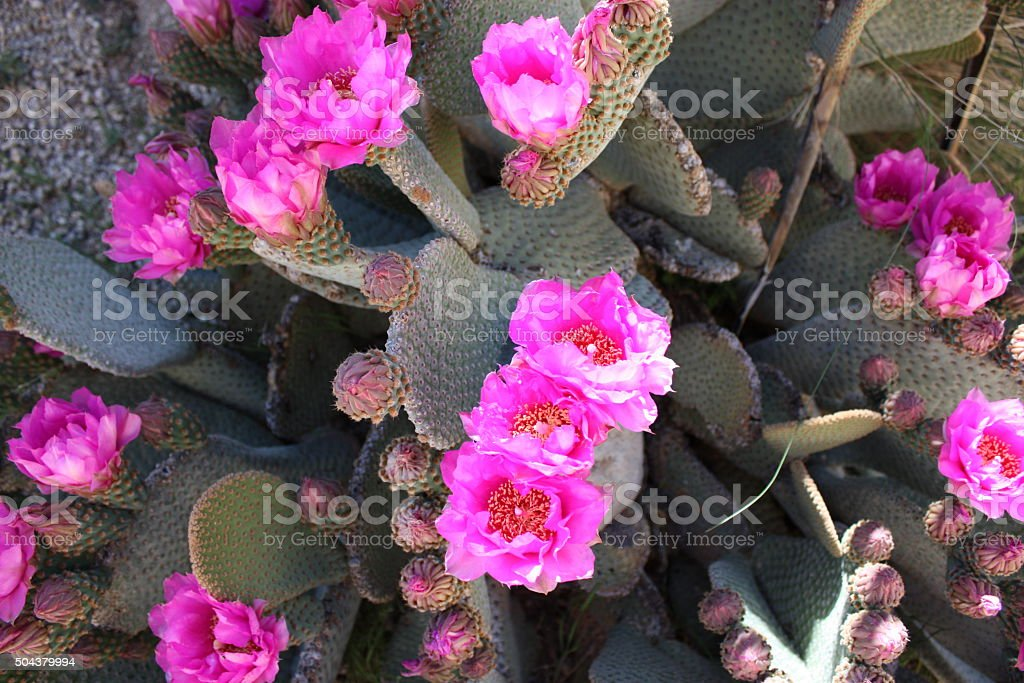 Pink Flowers of beavertail pricklypear, USA stock photo
