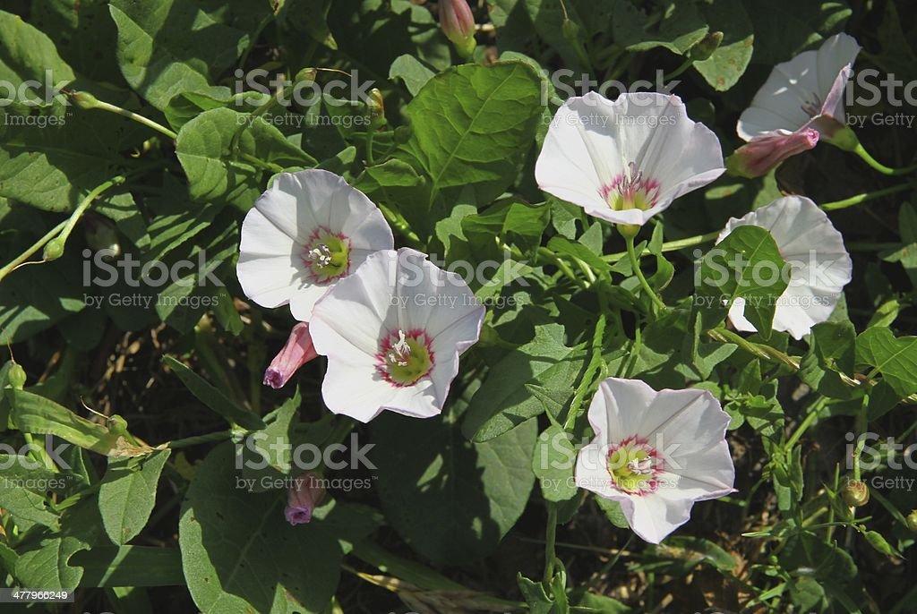 pink flowers of bindweed Convolvulus arvensis stock photo