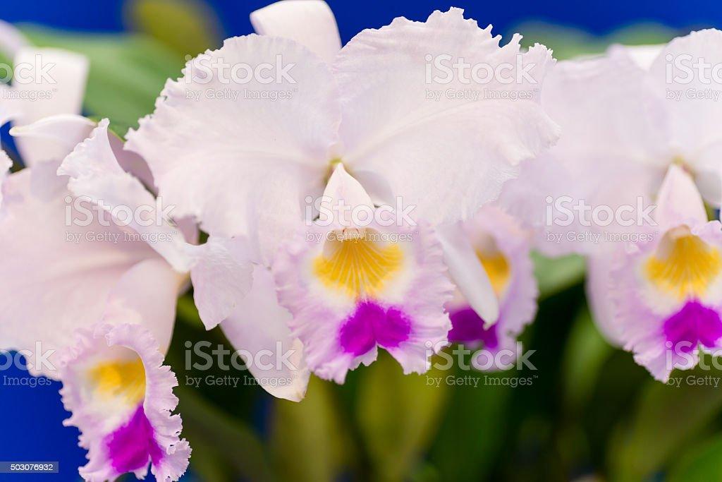 Pink flowers of cattleya stock photo