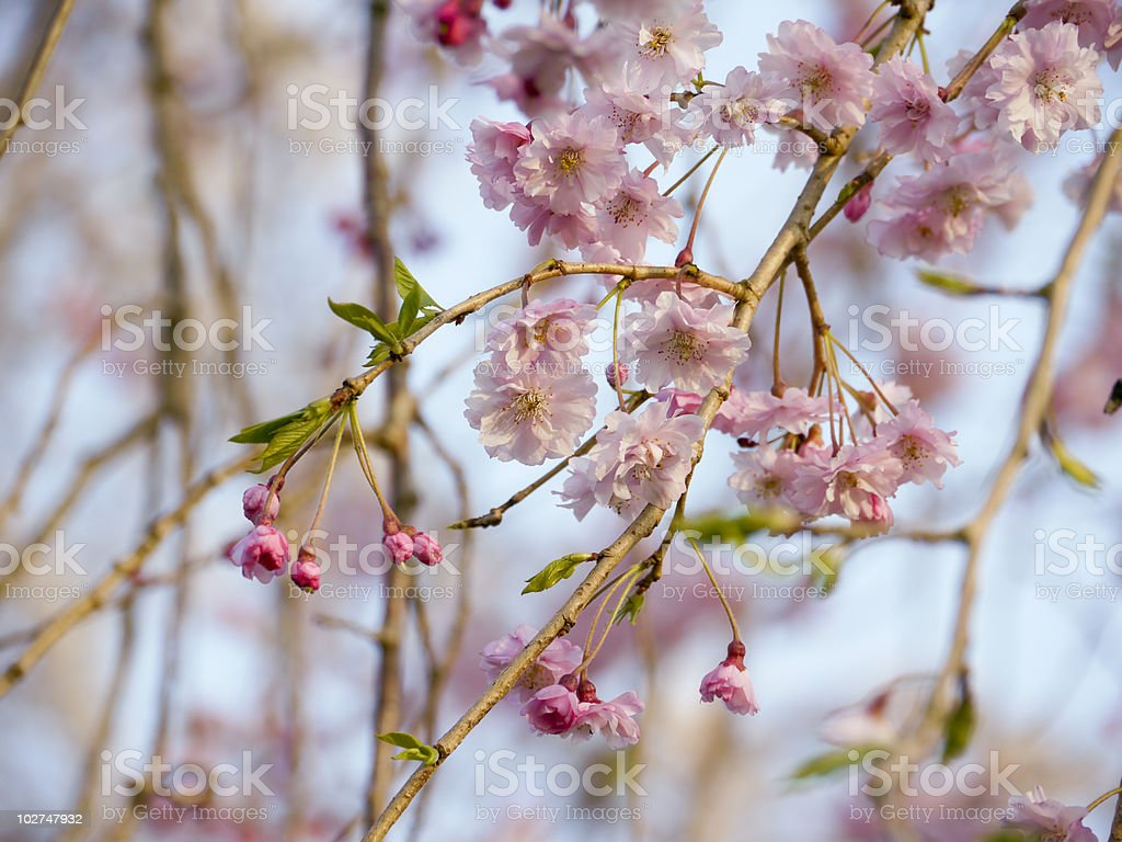 Pink flowers of drooping cherry tree stock photo