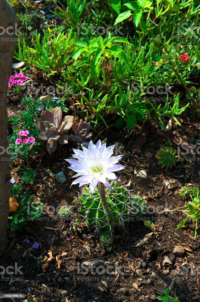 Pink flowers of Echinopsis cactus stock photo