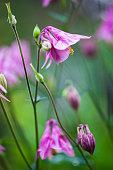 Pink flowers of European columbine