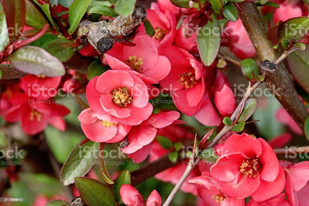 Pink flowers of Japanese quince in the garden stock photo