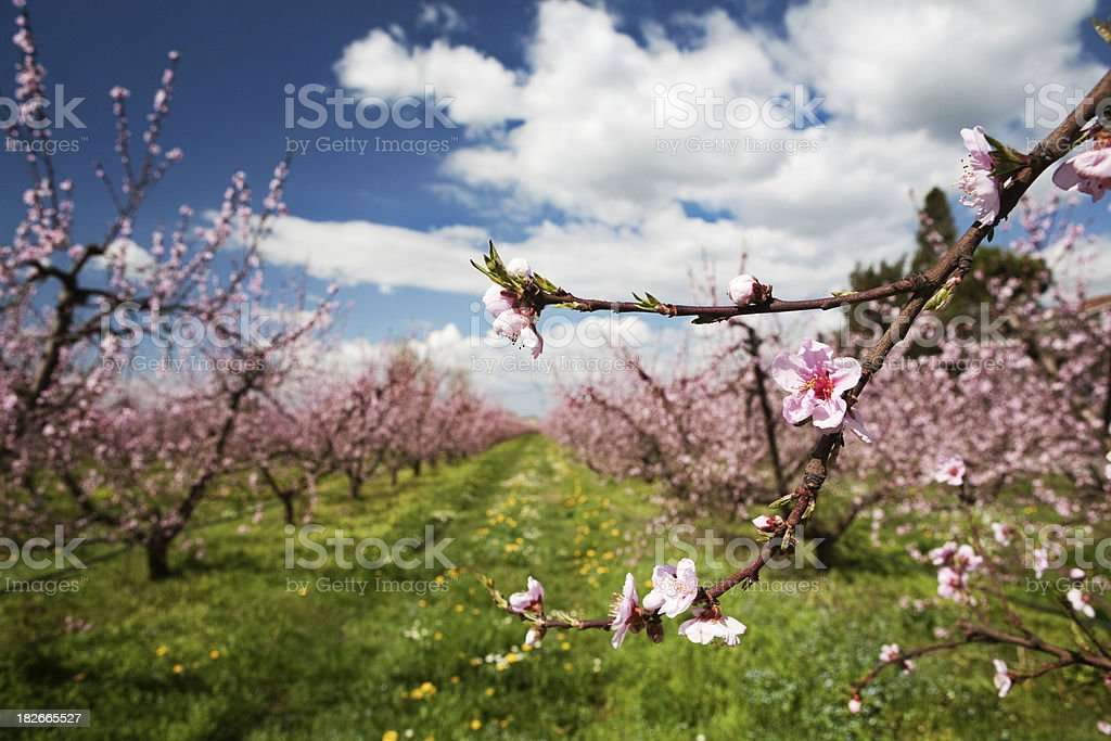 Pink flowers of peach , spring stock photo