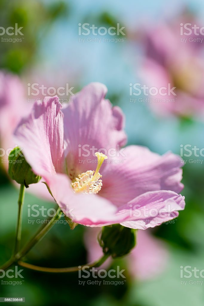 Pink flowers of rose mallow stock photo