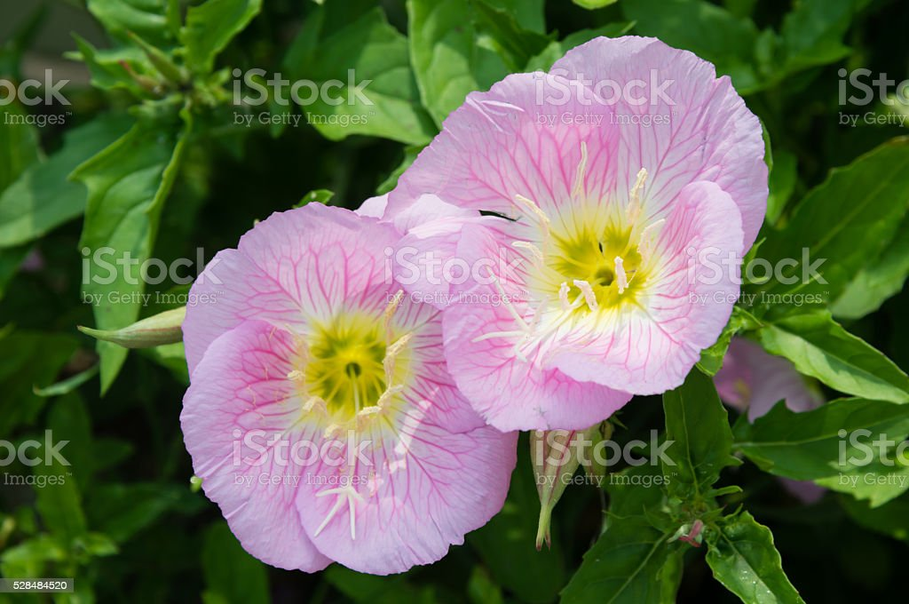 Pink flowers of showy evening primrose stock photo