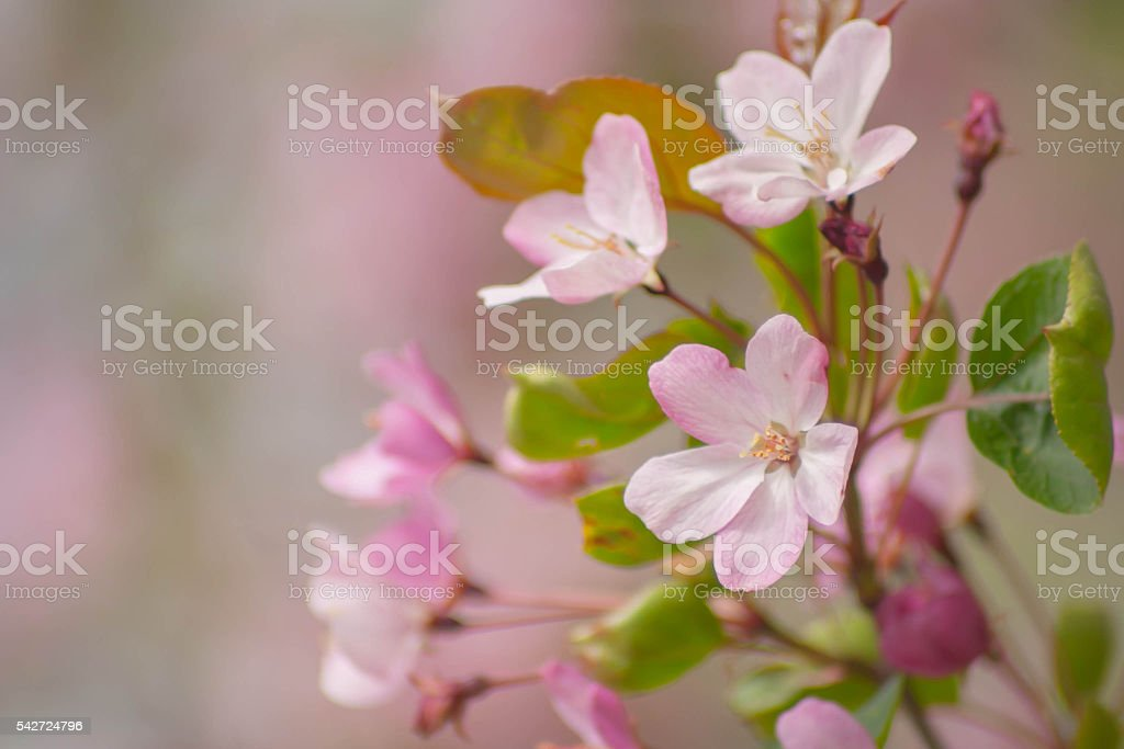 pink flowers of the apple tree stock photo