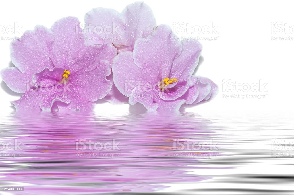pink flowers of violet water reflection stock photo
