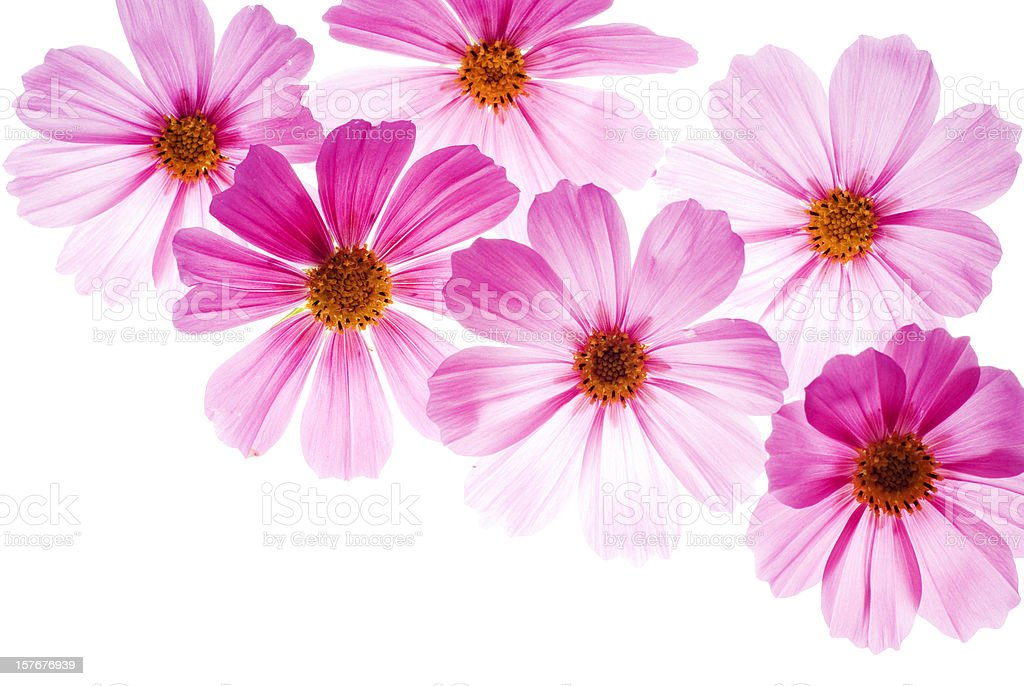 Pink flowers on a bright white background stock photo