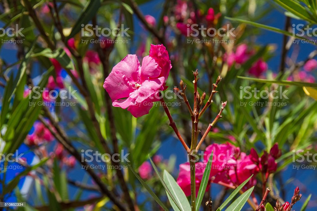 pink flowers on a Bush stock photo