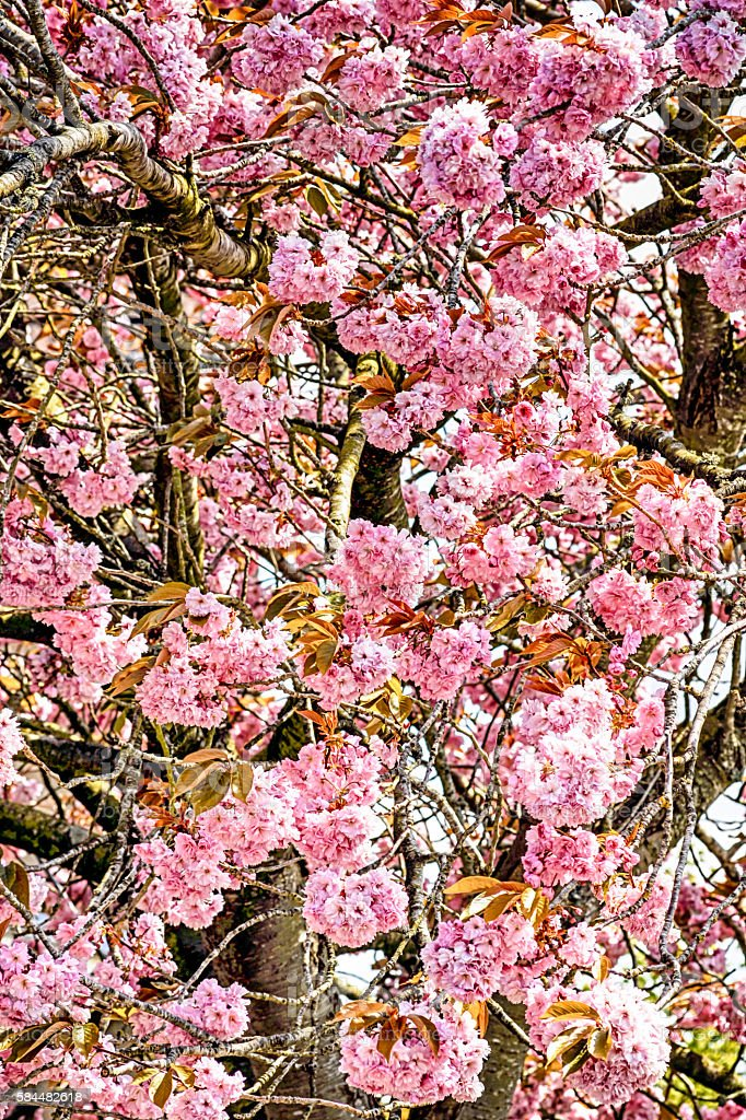 Pink Flowers on a Cherry tree stock photo