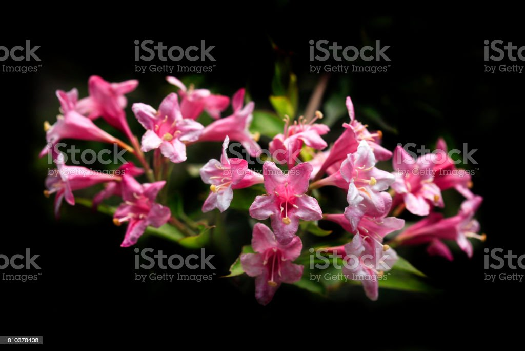 pink flowers on black background stock photo