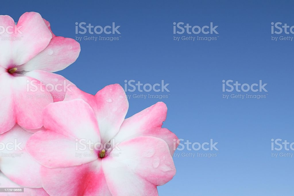 pink flowers on blue sky royalty-free stock photo