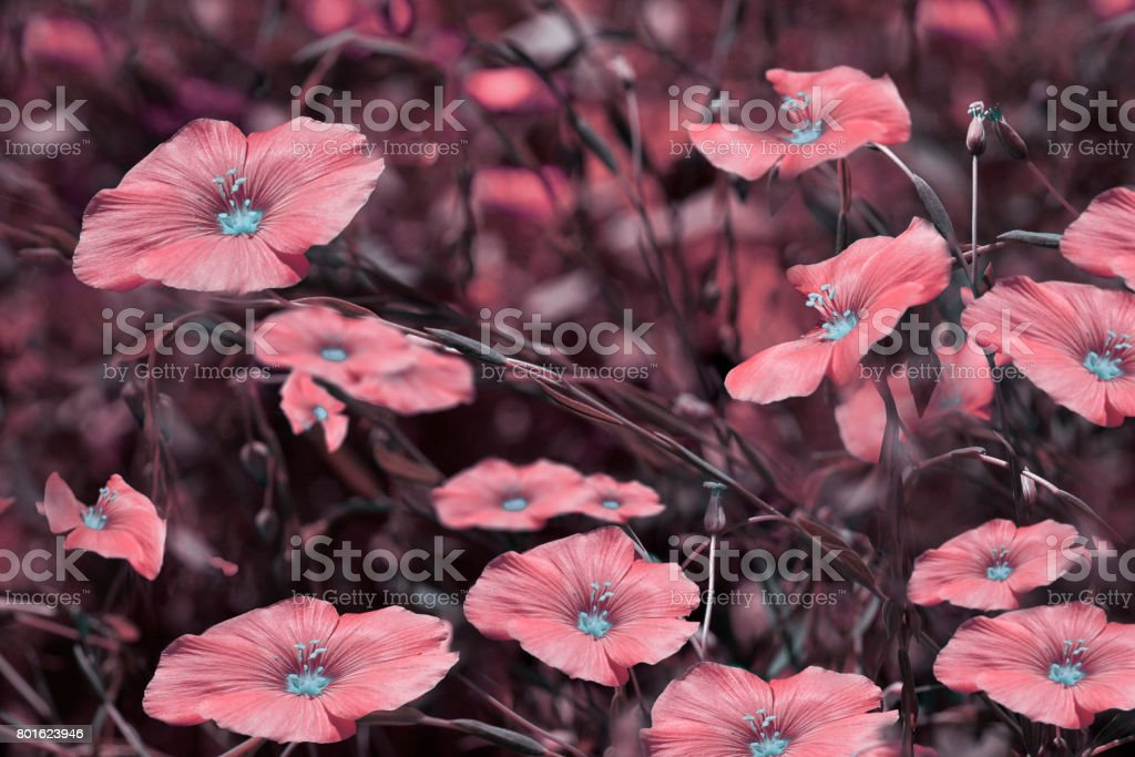 Pink flowers on blurry  background. Floral background. Pink wildflowers in the grass.Nature. stock photo