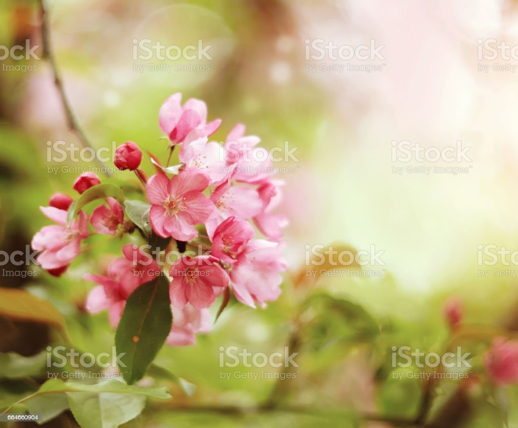 Pink flowers on branch of Apple tree stock photo