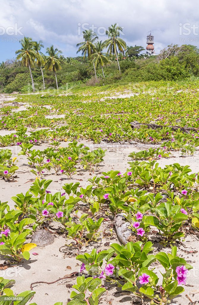 Pink Flowers on Playa Guiones stock photo