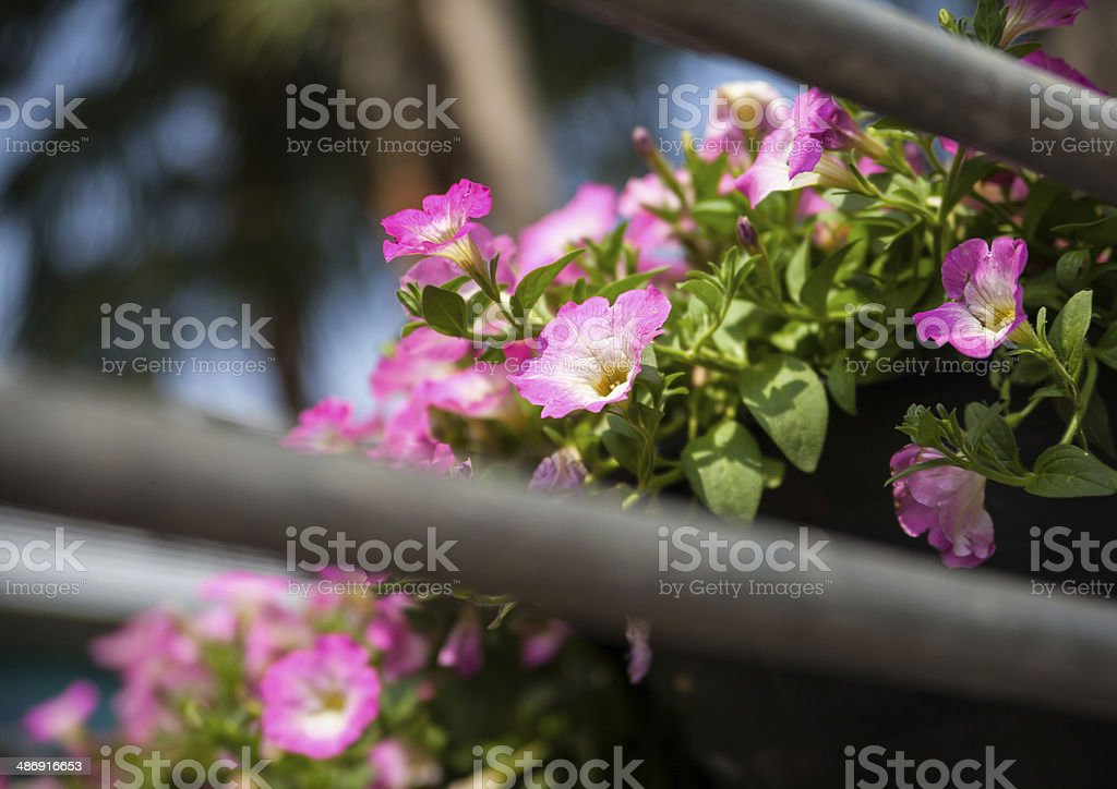 Pink flowers  on the car royalty-free stock photo