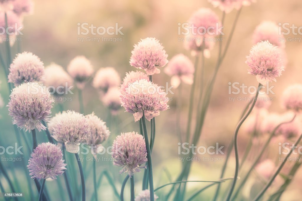 Pink flowers on the meadow stock photo