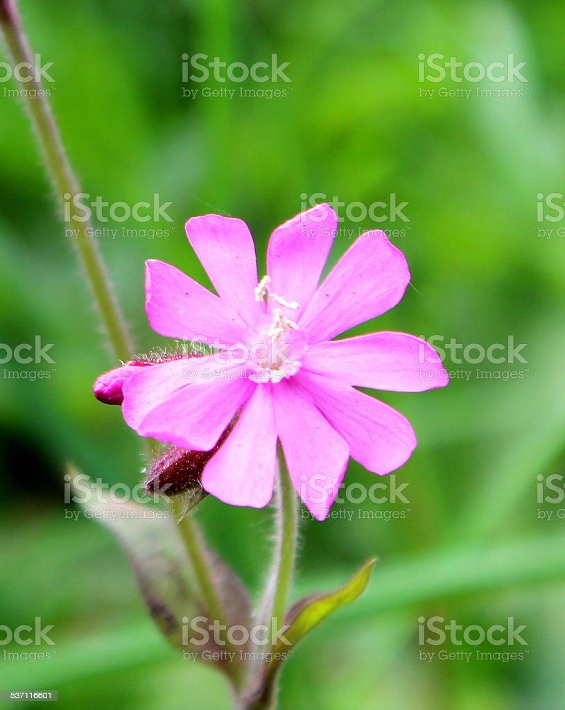 Pink flowers on wild red campion plant (Silene dioica) image stock photo