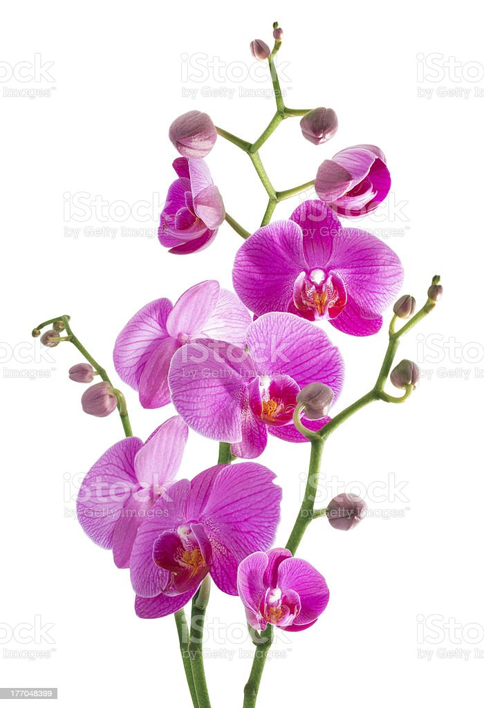 pink flowers orchid on a white background royalty-free stock photo