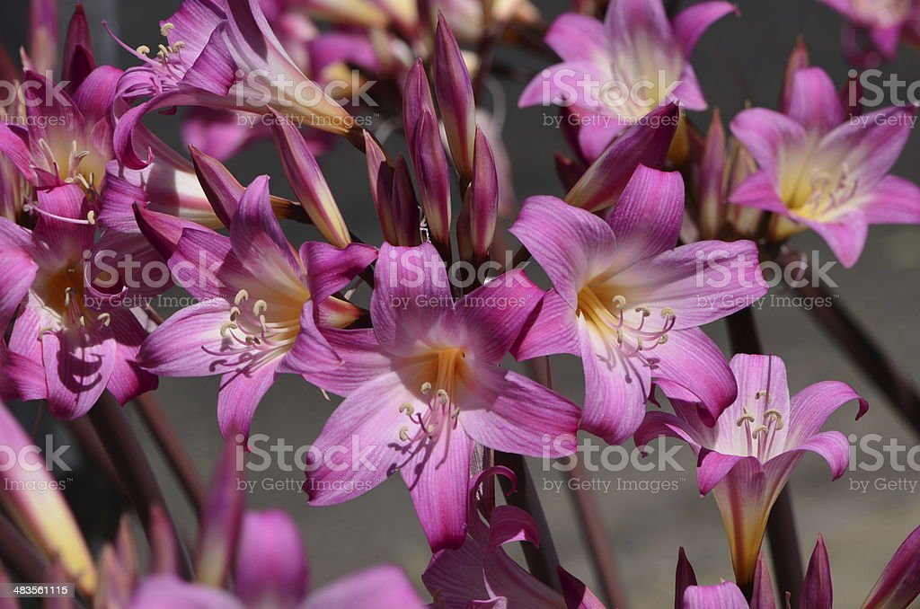 Pink Flowers royalty-free stock photo