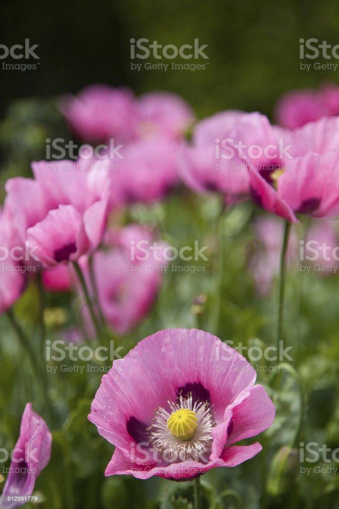 Розовые цветы Стоковые фото Стоковая фотография