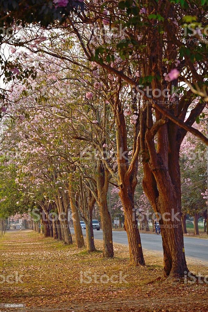 Pink flowers Tabebuia rosea blossom stock photo