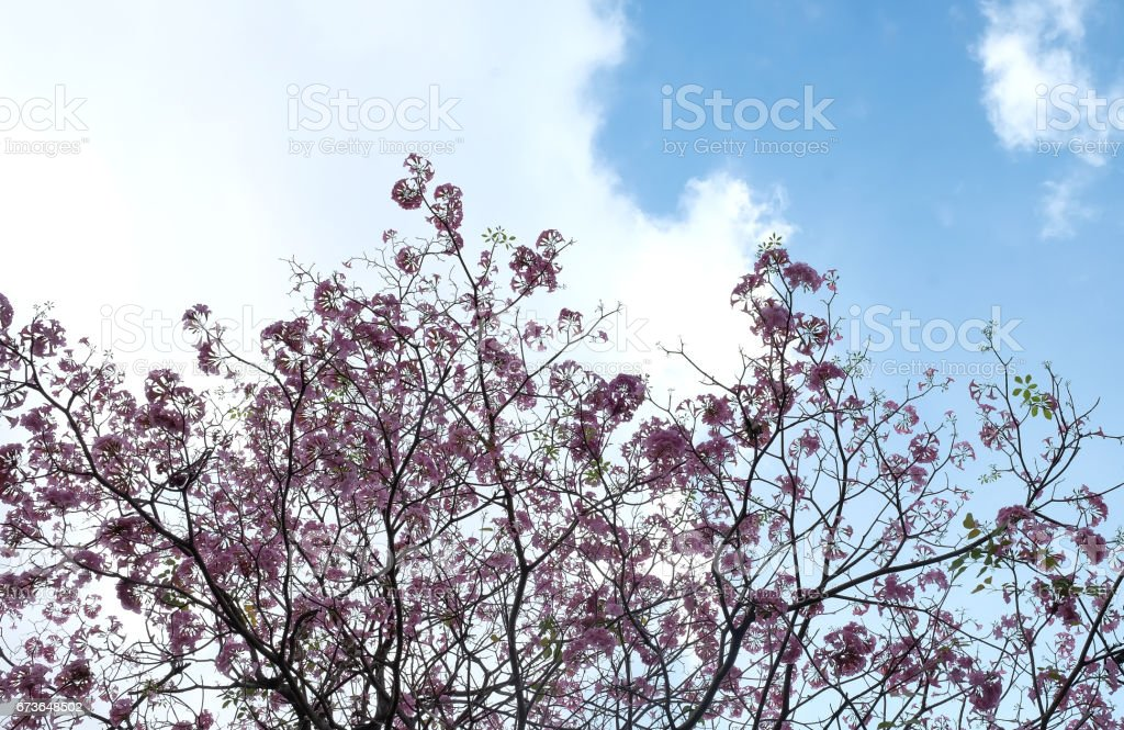 Pink flowers Tabebuya rosea blossom on with tree stock photo