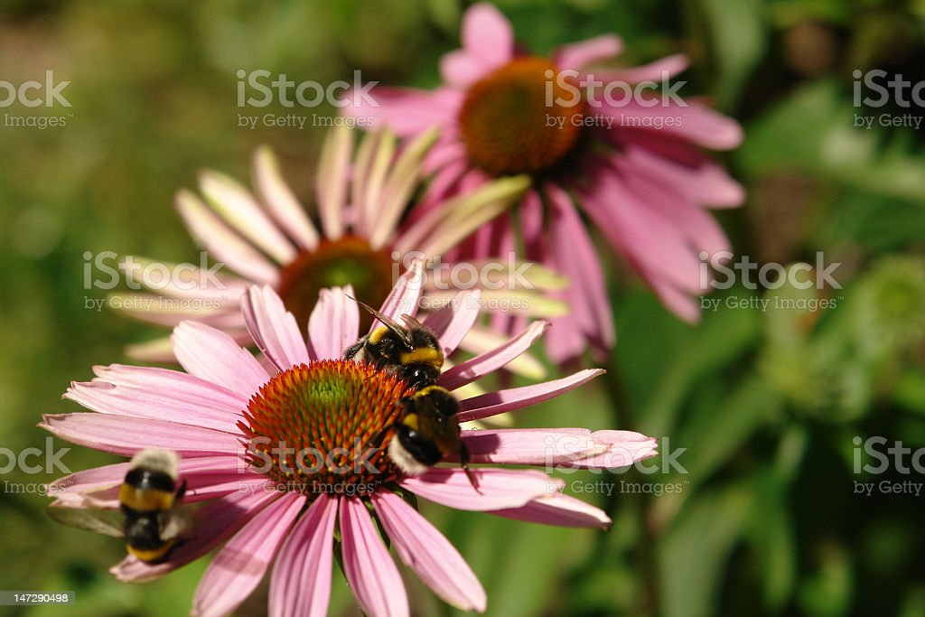 Pink flowers with bumblebees stock photo