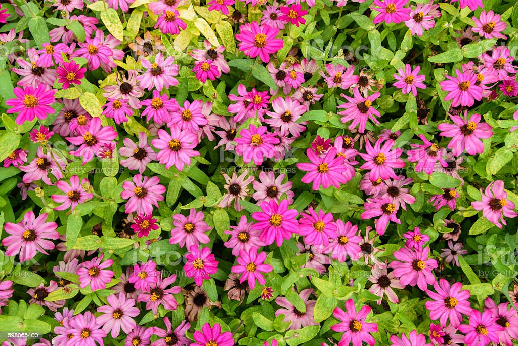Pink flowers with green leaves for background. stock photo