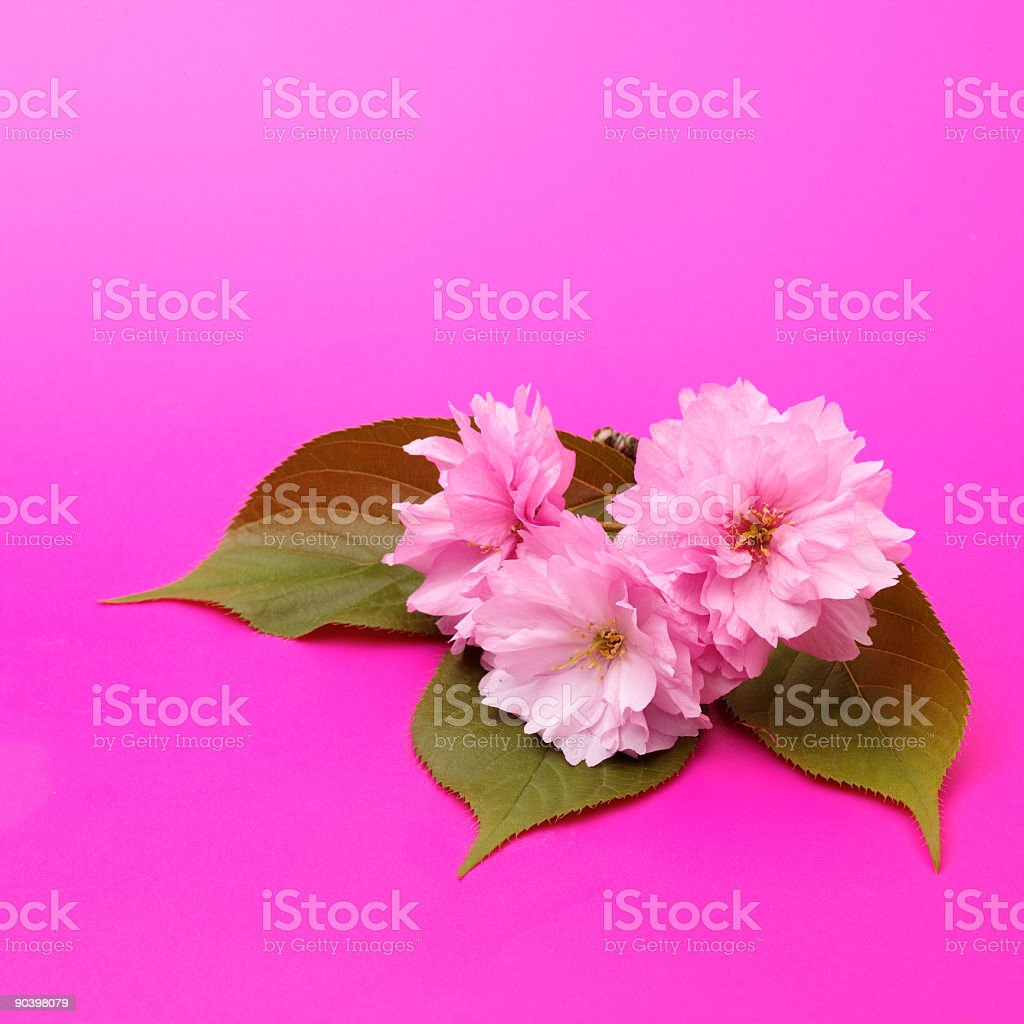 pink flowers#2 royalty-free stock photo
