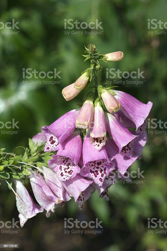 Pink Foxglove Plants royalty-free stock photo
