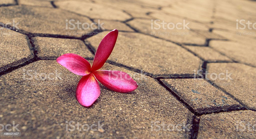 pink Frangipani flower royalty-free stock photo