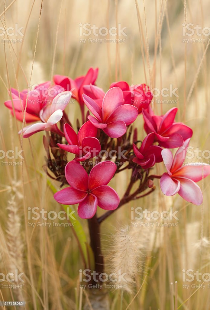 Pink frangipani plumeria flowers blooming stock photo