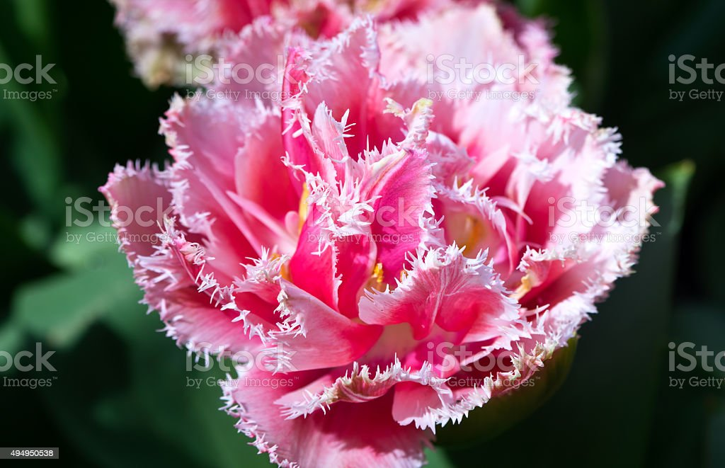 Pink fringed tulip stock photo