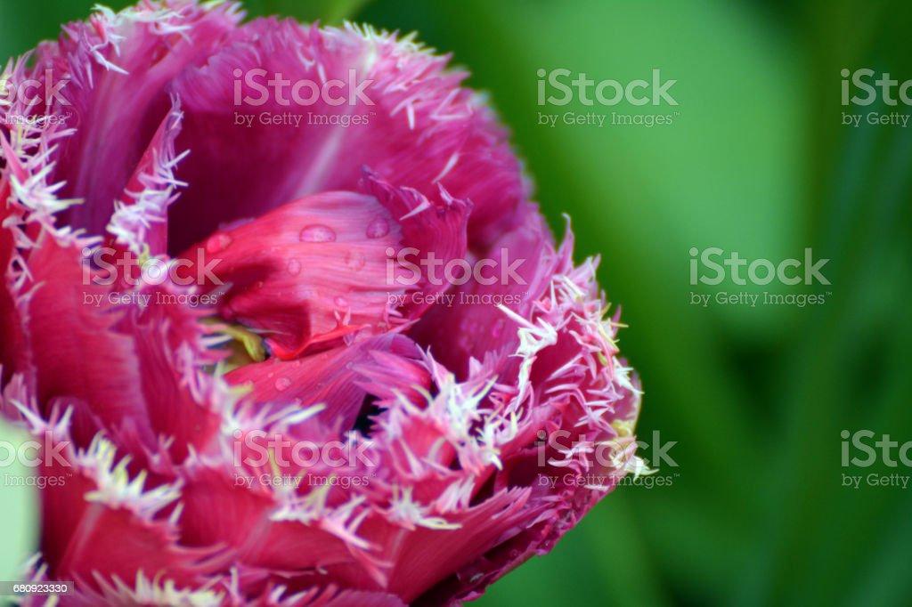 Pink, fringed tulip stock photo