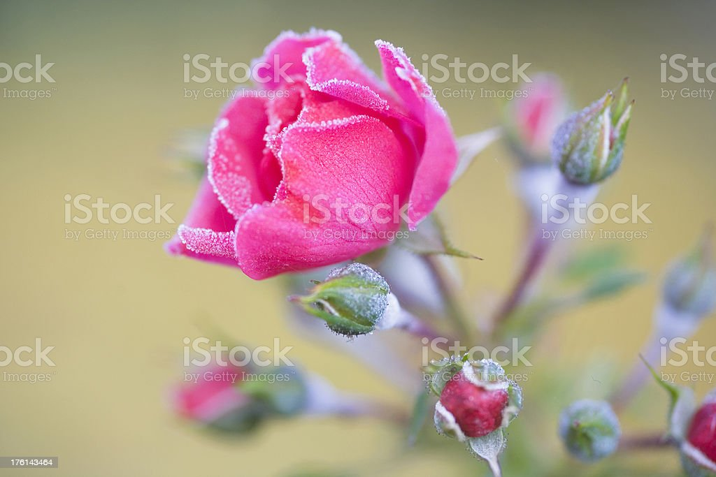 Pink Frost royalty-free stock photo