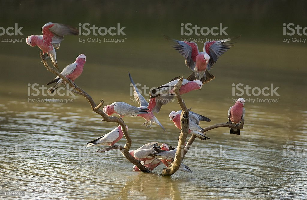 Pink Galahs royalty-free stock photo