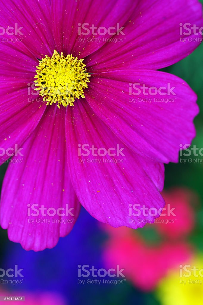 Pink garden cosmos stock photo