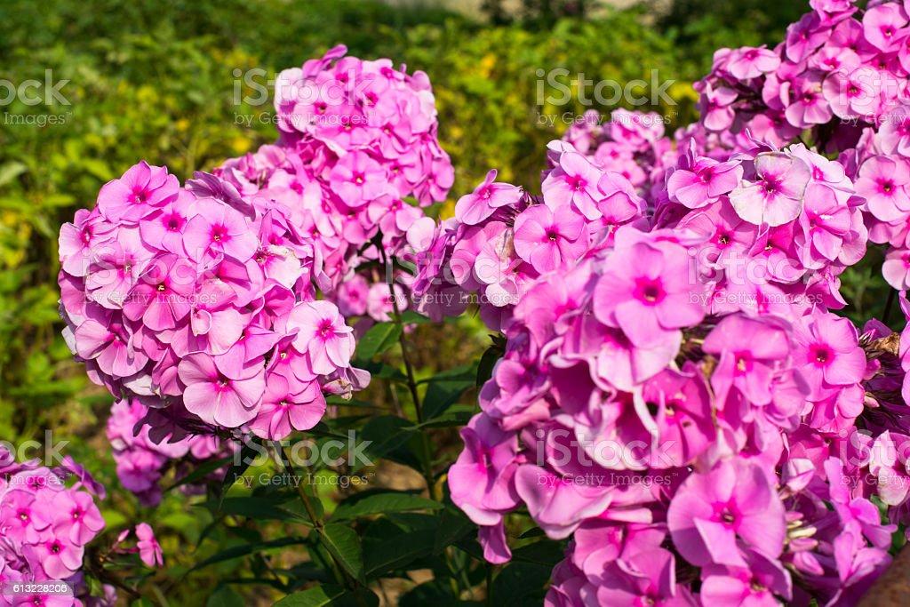 Pink garden phloxes stock photo
