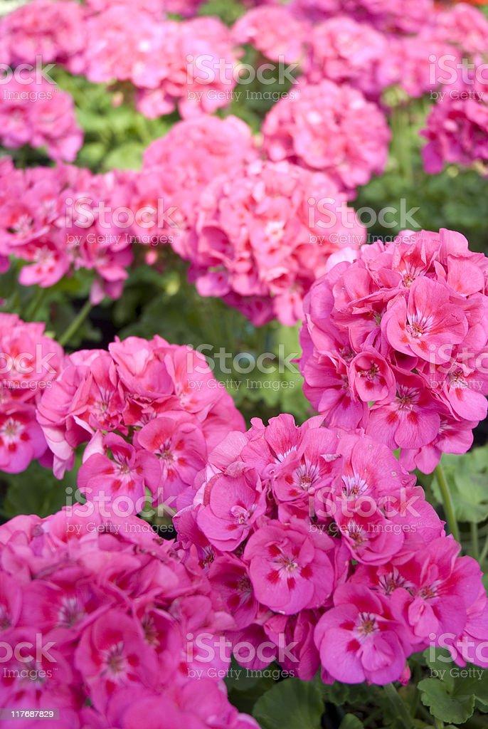 Pink Geranium Background royalty-free stock photo