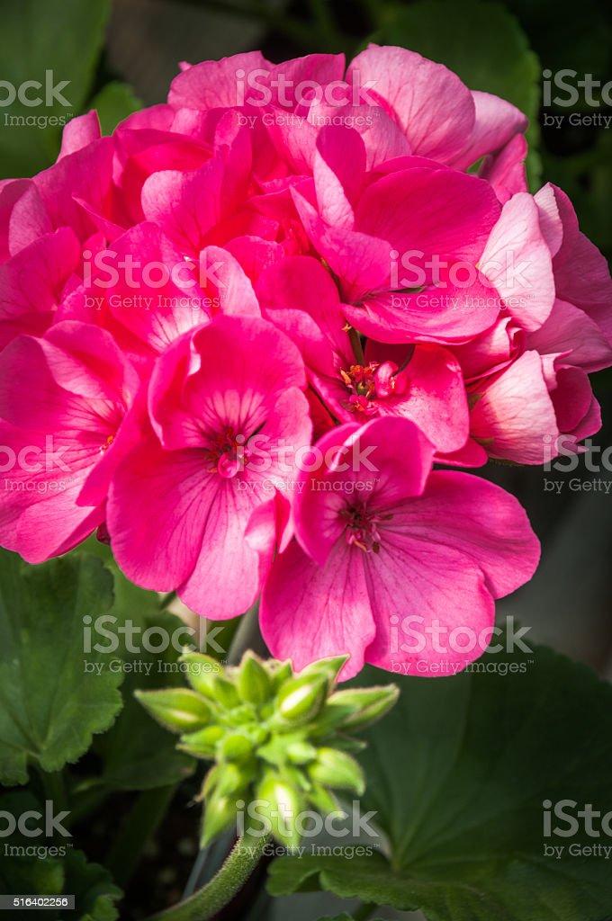 Pink Geranium Bouquet stock photo
