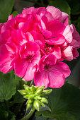 Pink Geranium Bouquet