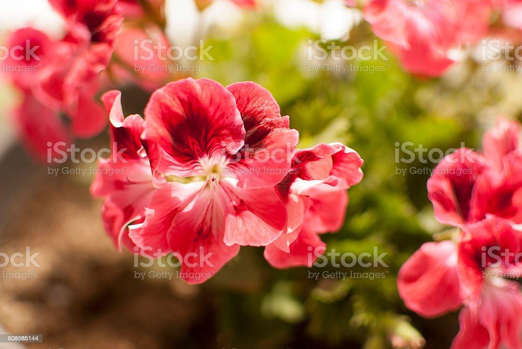 pink geranium - pelargonium stock photo