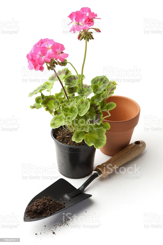 Pink Geranium Ready for Repotting stock photo