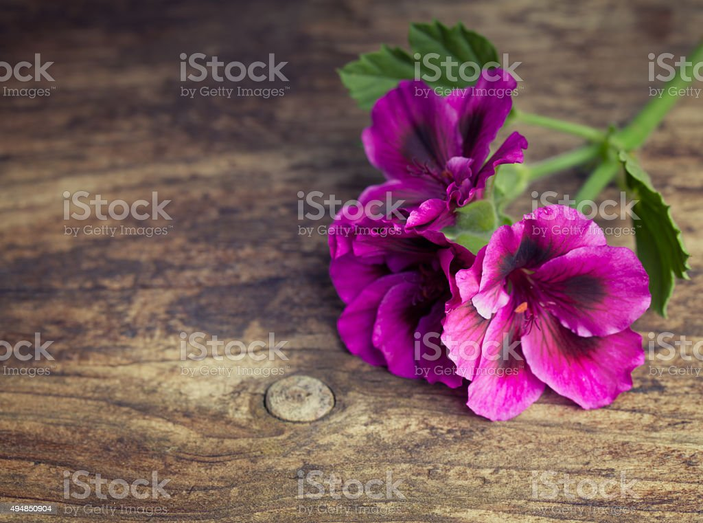 Pink geraniums on a vintage wood background stock photo