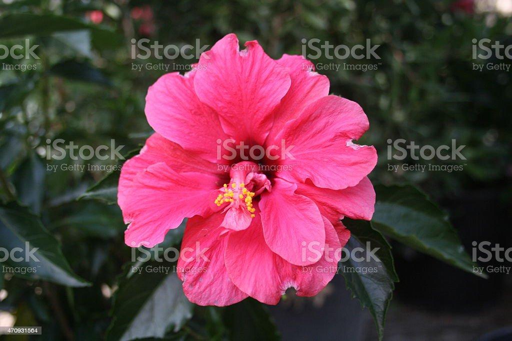 Pink Gerber Daisy royalty-free stock photo