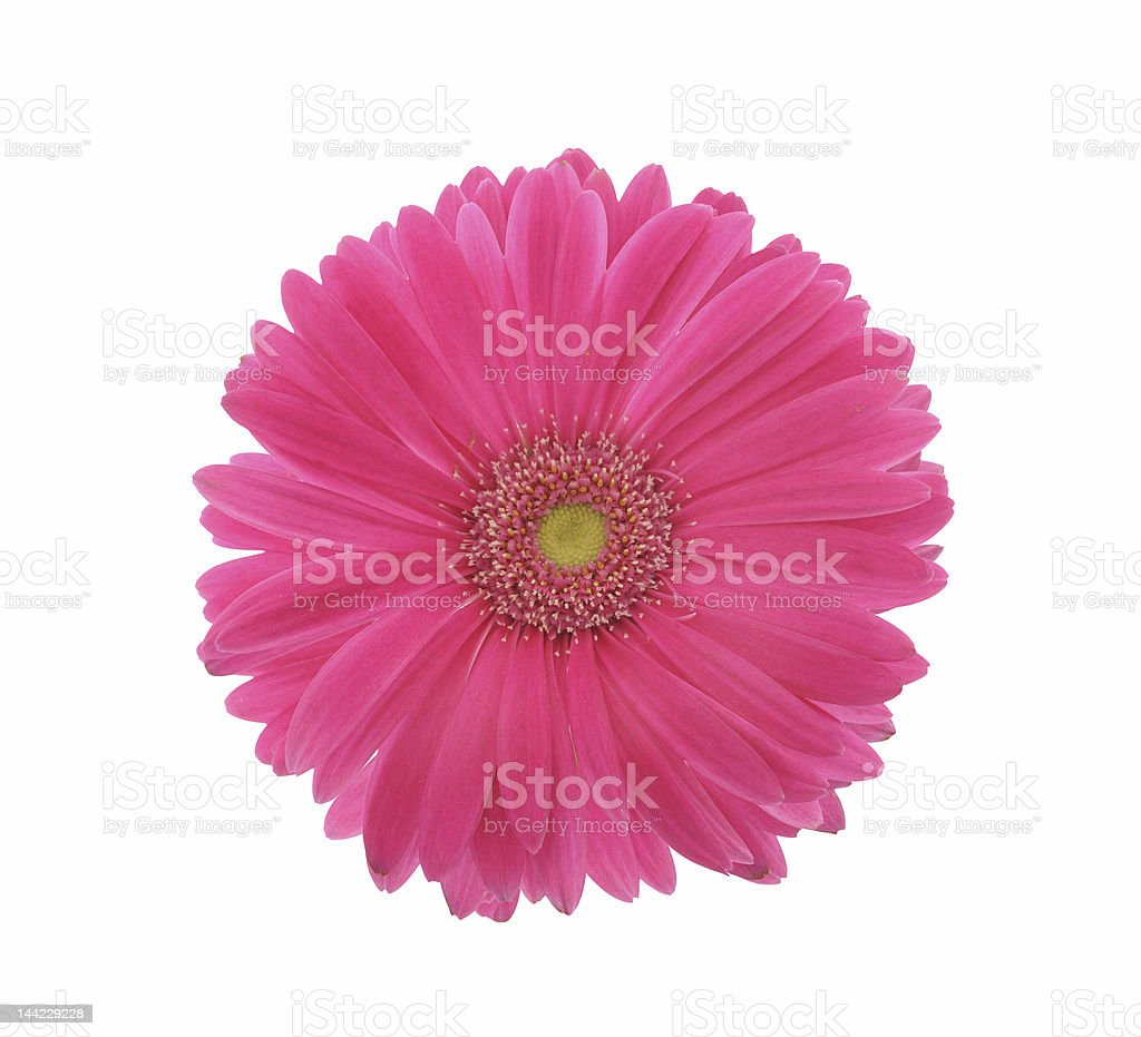 Pink Gerber flower on a white background stock photo
